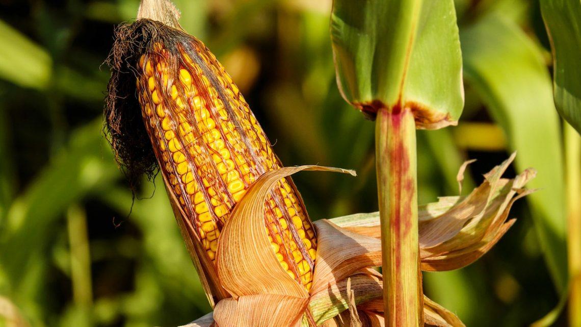 Du matériel de pointe pour le maïs et le tournesol